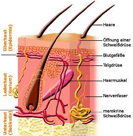 Haut, Aufbau Haut, Haut im Querschnitt